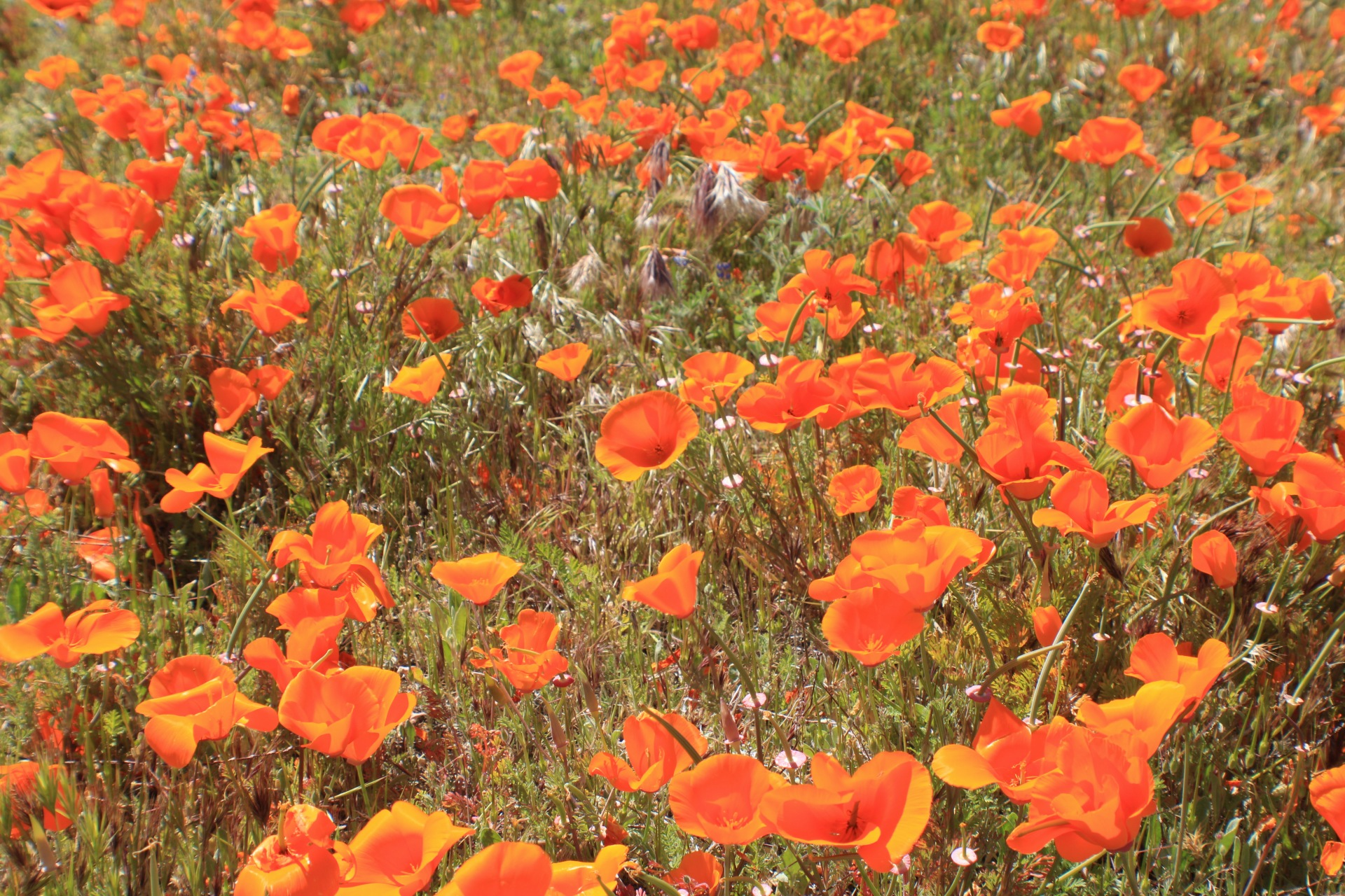 The California Poppies